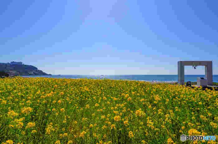 伊良湖岬灯台から日出の石門まで約1kmに渡って続く白く美しい「恋路ヶ浜」。「恋人の聖地」として有名ですが、春は砂浜周辺は一面の菜の花畑に。