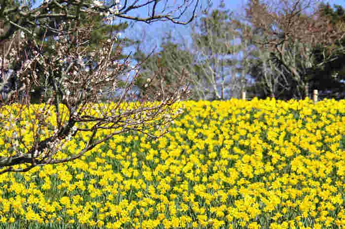 広い園内には大規模な花畑が各所にあり、四季折々の草花を楽しむことが出来ます。 春・・・スイセン・チューリップ。 初夏・・ネモフィラ・バラ。 夏・・・ジニア。 秋・・・コキア(ほうき草)・コスモス。