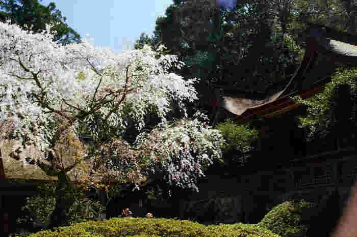上千本地区に鎮座する吉野分水神社は、桜の名所として知られているほか、子授けの神として人々の信仰の拠り所となっています。