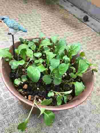 """胡麻の様な風味に、ちょっとピリッとした辛さがおいしい""""ルッコラ""""。小松菜の育て方を応用して、簡単に作れます。"""