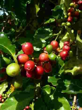 徐々に赤くなり、10カ月ほどの時間をかけて熟すと、赤紫色になります。これを『チェリービーンズ』とよび、食べると甘みがあっておいしいそうですよ。この実の中に、コーヒー豆(種)が2粒入っているんです。  実が出来たら、いつか焙煎してマイブランドコーヒーを…なんて夢が広がりますね。