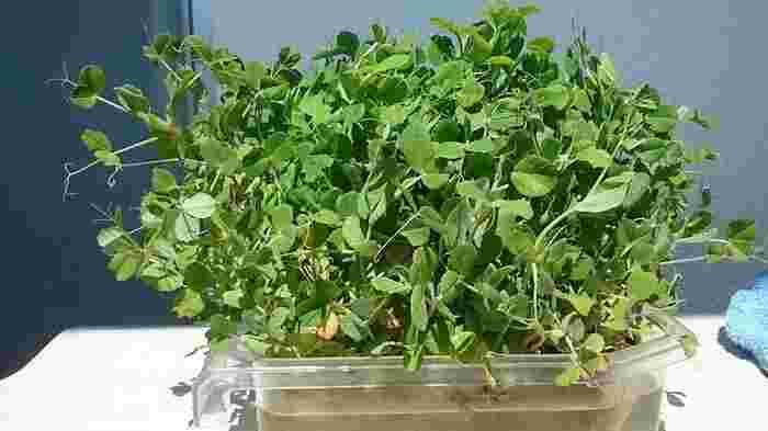 こちらはリボベジに最適だと言われる豆苗。カイワレ大根と同じく、切った根本を水につけておくとまた伸びてきます。何度も再生はできませんが、最初なら写真のようにたくさん回復しますよ。