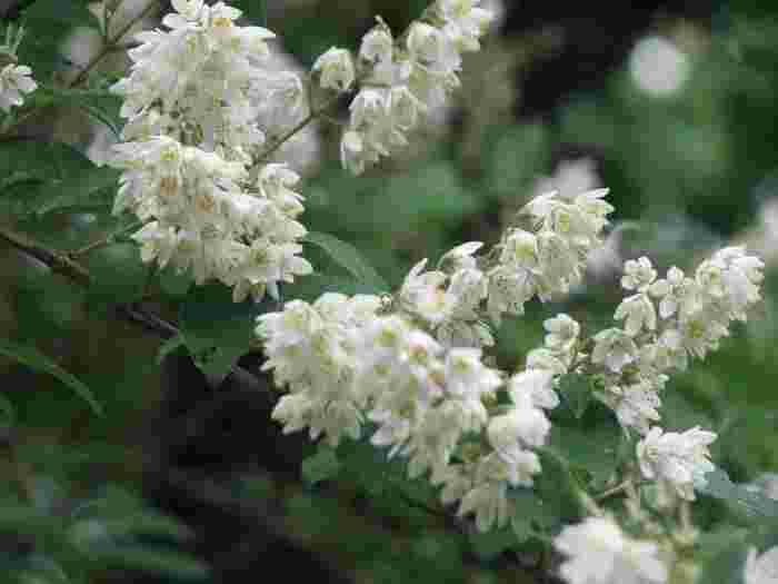 その中でも、GWの頃から梅雨にかけての初夏の頃は、緑眩しく、花々も色とりどりに咲き開きます。 【5月末の苑内「二の丸雑木林」に咲く『ウツギ』の花。見頃は、例年5月中旬から5月下旬。】