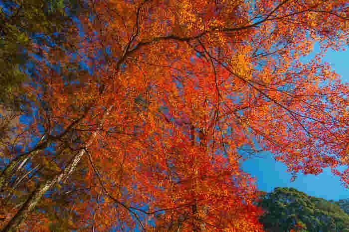 奈良と天理の間の山間に位置する紅葉の名所として名高いこの寺院は、山全体が錦を纏っているかのように見えることから「錦の里」とも呼ばれています。よく晴れた青空を朱色に染まった樹々が覆う様は、空に紅葉のヴェールをかぶせたかのようです。