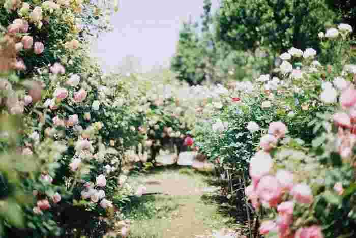 『ローズガーデン』  オールドローズ・イングリッシュローズ・つるバラ・フロリバンダローズなど約400種類もの可憐なバラたちにうっとり。四季咲きのバラが多いから、春~秋までの長い期間訪れる人の目を楽しませてくれます。