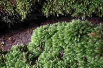 杉の葉っぱのような苔。 一口に苔と言っても色々な種類があります。