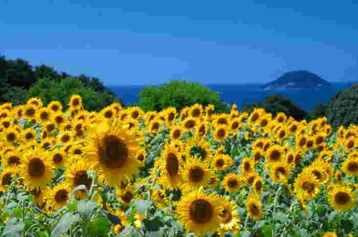 夏は、ひまわり・紫陽花・ケイトウ・ダリア・海紅豆・ブーゲンビリア・サルビア。ひまわりは7月下旬~8月下旬まで楽しめます。青い海と黄色のひまわりのコントラストが美しいですね。