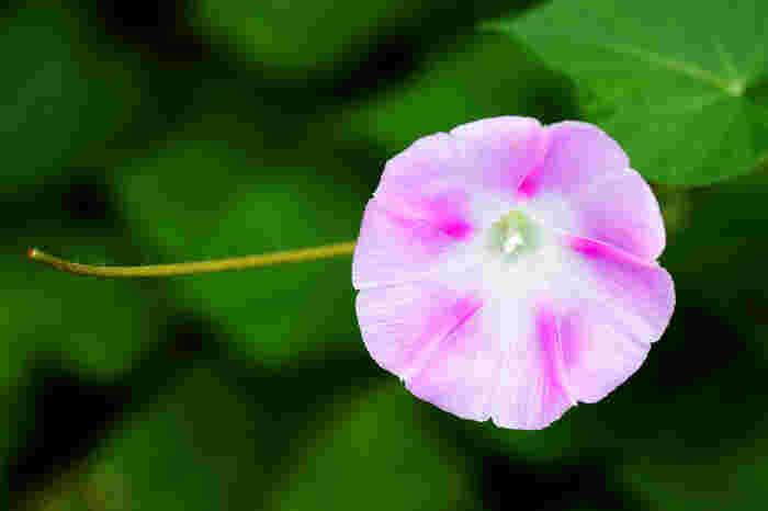 白やブルー系の朝顔は涼しげでさわやかな印象に、ピンクの朝顔はかわいらしい印象になります。好みに合ったものを選びましょう♪