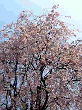春は、なんといっても「桜」