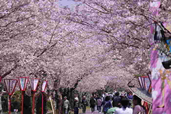 なだらかな丘陵地帯に位置する母智丘公園は、南九州随一の桜の名所として知られています。公園内には、ヤマザクラ、ソメイヨシノ、八重桜などを中心に約2600本の桜が植栽されており、10万人を超える花見客で賑わいます。