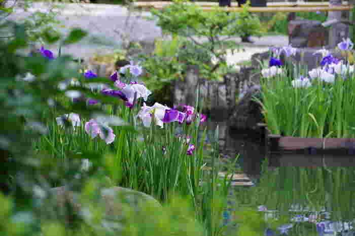 アジサイが咲く少し前の季節には、花菖蒲を楽しむことができます。空の青と、菖蒲の青が水鏡にうつる様は心がスルリと洗われた気分になりますよ。