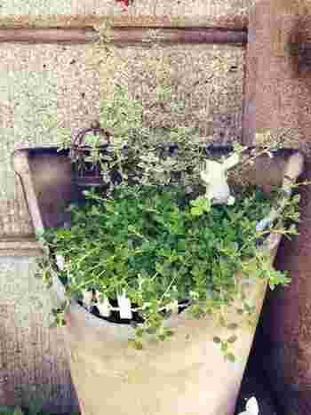 タイムは日当たりと風通しの良いところで栽培すると、葉のつやが良い品質の良いものが出来上がります。元気がないなと思ったら、お日様がたっぷりと当たる日なたに動かしてあげるとよいでしょう。春まきと秋まきで栽培することができます。