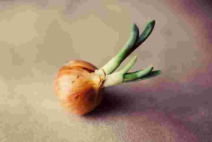 食卓に欠かせない玉ねぎも11月頃に苗を植えます。収穫は翌5月頃からなので時間が掛かりますが、珍しく連作可能な野菜なので常備しておきたいですね。乾燥に弱いので毎日の水やりはかかさずに。土を作る際にはリン酸を混ぜておきましょう。