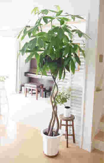 パキラは乾燥や病虫害に強く、生命力が高いのが特徴。初心者でも育てやすい品種です。5~7枚くらいの細長い葉っぱが手の平のように広がる形で、生長すると葉っぱも大きくなるので、ボリューム感が出てきます。伸びすぎて剪定しなければならない場合も、どこを切っても新芽が出やすい植物です。