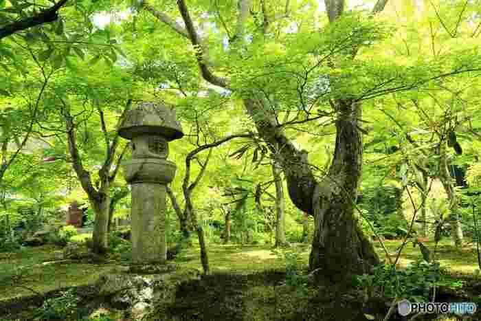 桜の季節、そしてゴールデンウィークが過ぎ、どっと押し寄せた人波がやや和らぐ頃に、京都は新緑がまばゆい「青もみじ」の季節を迎えます。秋には真っ赤に色づく紅葉や楓の木が、木漏れ日に揺れながら緑の彩りで訪れる人を迎えてくれる…そんな初夏の京都へ旅してみませんか?