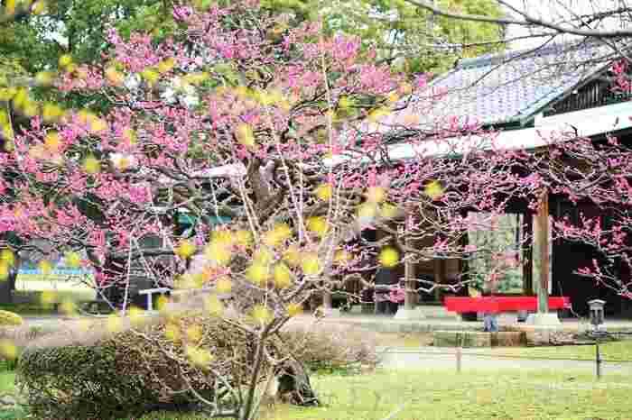 日本家屋と紅梅、蠟梅の組み合わせ。香りとともに豊かかな情景を作り出しています。