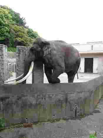 「金沢動物園」の特徴は、草食動物がメインの動物園ということ。各動物の展示スペースが広いので、動物たちがゆったりと動く様子を見ることができます。  「ユーラシア区」にいるインドゾウは、夏になると水浴びをする姿も観察できますよ。