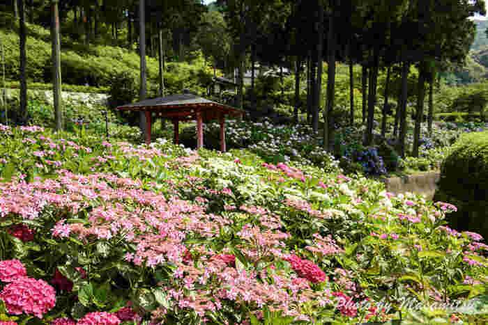毎年、梅雨の時期になると、境内の庭園には約1万株ものアジサイが一斉に花を咲かせます。