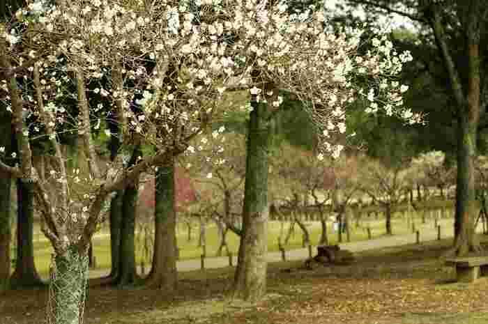 春日大社や東大寺といった観光名所に隣接し、野生の鹿が生息する奈良公園には「片岡梅林」と呼ばれる梅の名所があります。