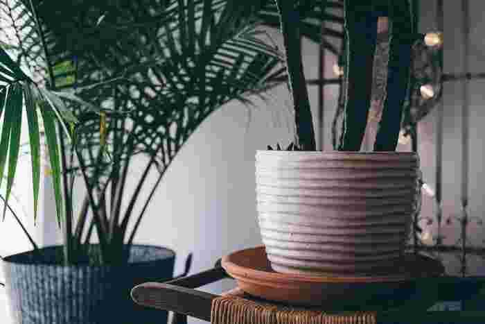 お部屋のシンボルツリーにもなる、大型のグリーンは憧れの存在ですよね。一株あるだけで、お部屋が見違えるようにみずみずしく変わります。床にそのまま置いても存在感があり、美しい株姿や青々とした葉がインテリアに映えるのが魅力です。