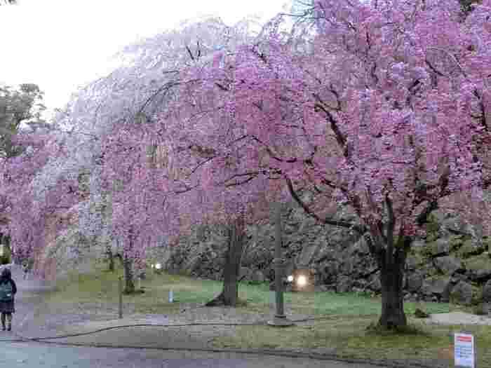 園内には、ソメイヨシノ、シダレザクラ、ヨウコウザクラなど約1300本の桜があり、福岡市民はもちろん、県外からもお花見に訪れる人も多い大人気の観光スポットです。シダレザクラは雅な雰囲気が漂っていて、思わず見惚れてしまいますね。