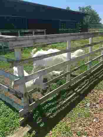 草刈要員の山羊さんの他、鶏も飼育されています。