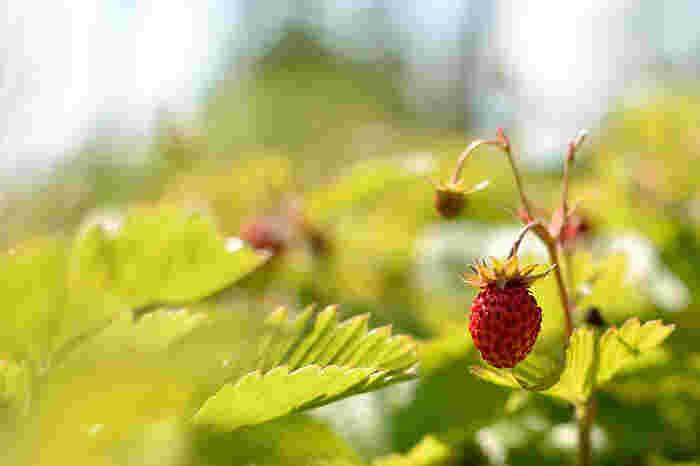 ワイルドストロベリーは、普通のイチゴよりも育てやすいのでビギナーにおすすめだとか。冬場も含めて、一年中、開花、結実するそうです。ルックスがキュートで、見ているだけでも癒されます。