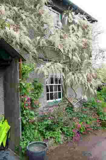 17世紀の建物「ヒル・トップ」の外壁に伝う白藤。上品さが溢れる美しさ。