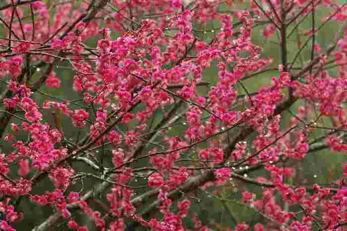 片岡梅林には、紅梅、白梅など約250本の梅が植栽されています。