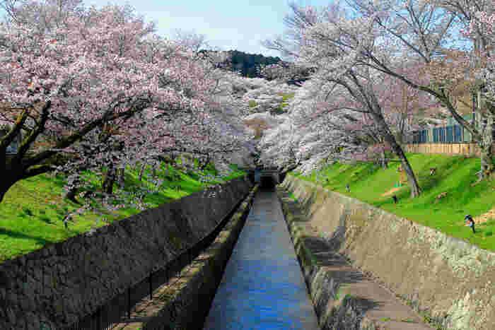 「琵琶湖疎水」は琵琶湖から京都市内へ湖水を流すために明治時代に造られた水路のことで、国の史跡にも指定されています。南禅寺や平安神宮、京都国立博物館の方にまで引かれていて、疎水に沿って桜並木を望むことができます。満開の頃には桜のトンネルが出来上がることもあり、ひと目見ようと多くの観光客が訪れる定番スポットのひとつです。