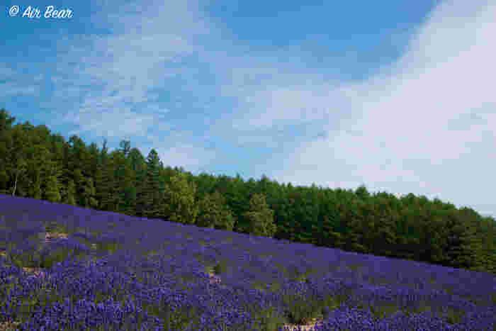 1988年に開園した彩香の里は、敷地面積6ヘクタールにも及ぶ広大な丘一面にラベンダーをはじめとする花々が植栽された畑です。