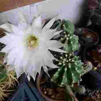 園芸での代表的な種類は、玉サボテン・柱サボテン・ウチワサボテン・エビサボテンなど。写真は、花を楽しむサボテン、エキノプシス属の「短毛丸」です。