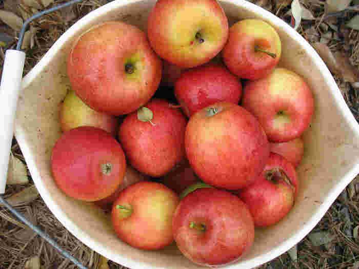"""りんごは、昔から""""魔法の果物""""と言われ、一日一個のりんごを食べると「医者知らず」として、健康に欠かせない食材でした。"""