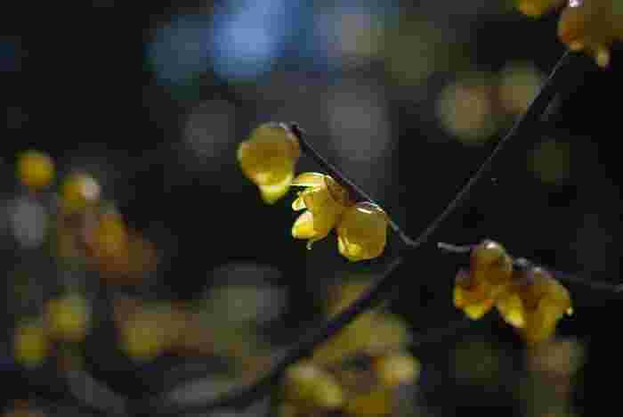 小石川後楽園では、よく見かけることができる紅梅、白梅のほかに、黄色の花びらをした蝋梅を見ることもできます。