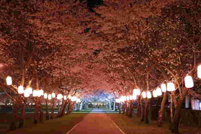 毎年3月下旬から4月上旬頃にかけて、公園内は一斉に桜色に染まり、約2キロ続く桜並木はピンク色のトンネルへと変貌します。