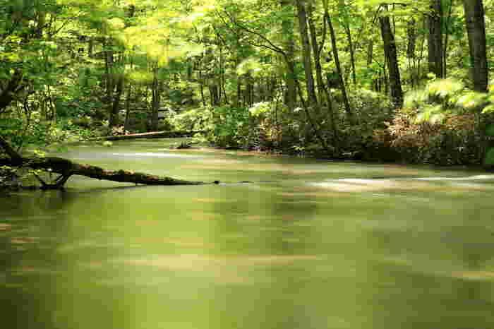 目で見るだけじゃなく、渓流の音、鳥たちの鳴き声、自然の香り。 五感いっぱいで、奥入瀬渓流を感じてみてください!