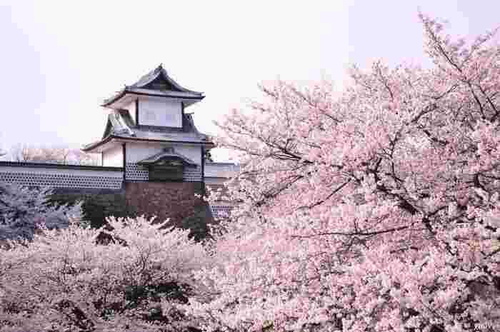 金沢城は、金沢市内有数の桜の名所となっています。毎年春になると城内に植樹されているソメイヨシノが美しく咲き誇り、大勢のお花見客で賑わいます。