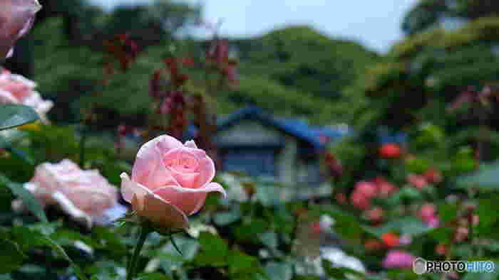 本館前の庭園には、600平方メートルもの広さのバラ園があり、186種221株ものバラを楽しむことができます。 春は5月中旬から6月下旬、秋は10月中旬から11月下旬にかけてバラが見ごろを迎え、色とりどりのバラが咲き乱れる様子は圧巻です。  園内には「サプライズ」や「ブルームーン」などの外来種のバラから、「星夜月」や「流鏑馬(やぶさめ)」、「静の舞」といった鎌倉ゆかりの名前を付けられたバラも咲いています。