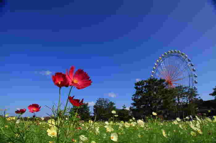 四季折々の花々が楽しめるほか、遊園地、アスレチック広場、バーベキュー広場など多彩な楽しみ方ができる総合エンターテイメントパーク、国営ひたち海浜公園は、茨城県随一の花の名所として知られています。コスモスは「みはらしの丘麓」、「大草原フラワーガーデン」「大草原周辺」で開花し10月上旬から下旬にかけて次々と花を咲かせます。