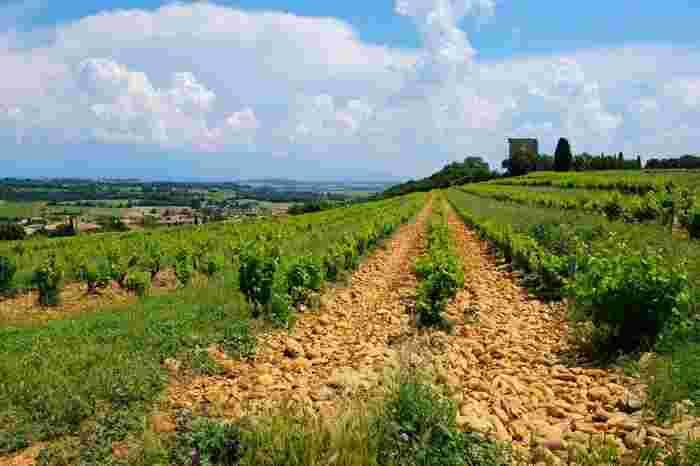 シャトーヌフ・デュ・パプのブドウ畑の地面は、丸い小石で覆われています。土壌を覆う小石は、ブドウ畑の通気性と水はけをよくするだけでなく、日中の日射しを吸収し、夜でも土に暖を保つ役割をしています。ブドウ畑の大地を覆う小石こそが芳醇なワインを熟成できる秘訣となっています。