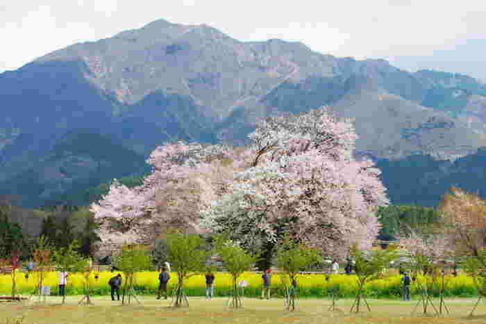 【九州】春のお花見へ出かけよう♪《福岡・大分・熊本》の「桜の名所」6選