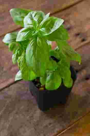 バジルは種から育てることもできますが、苗からの方が短期間で収穫でき、失敗も少ないのでビギナーさんにはおすすめです。苗を選ぶときは、葉は明るい緑色で、虫食いのあとや病気などにより黄色く変色していないものを選びましょう。茎はしっかりしていて太く、節同士の間隔が詰まったものを。
