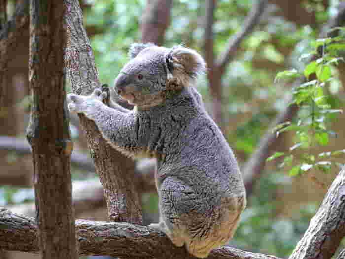 動物の生態、実は知らないことばかり!知ってから動物園へ行くのと、知らないで行くのでは見方が180度変わってきます。 例えば可愛らしい外見が人気のコアラ。コアラはユーカリのみを食べるのですが、ユーカリには強い毒性をもつ「青酸」が含まれています。コアラには、1.5mから2mもの長い盲腸があり、青酸を分解できる微生物が腸内いるために中毒にはなりませんが、解毒には体力が必要なので、エネルギーを節約するために1日に20時間前後も寝ると言われているそうですよ。