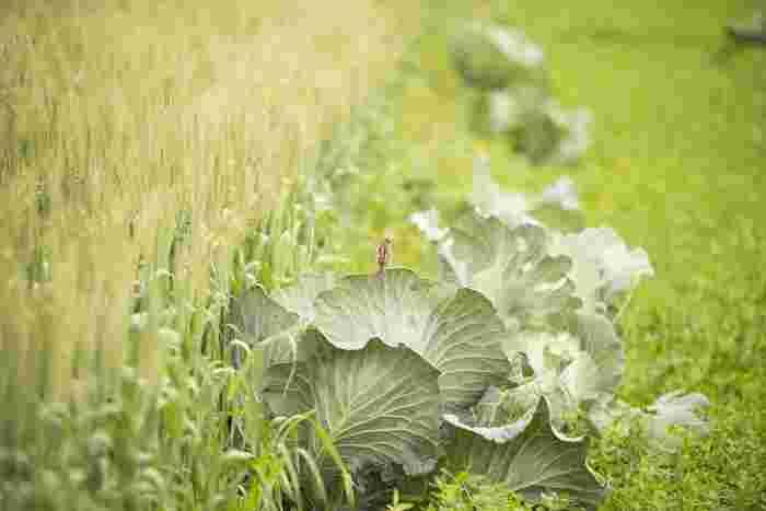 旬を迎えるキャベツは、春キャベツ、冬キャベツがあり、その時の旬によって美味しさも変わります。春キャベツは葉が柔らかく生食向きで、冬キャベツはどっしりしていて煮込んだりするお料理に向いています。旬のこの時期は栄養価も高い上に安価で手に入ることも嬉しいことの一つです。そして旬のキャベツには「ビタミンU=キャベジン」が含まれており、胃腸を整えてくれる効果が期待できる栄養素です。このビタミンの別名を知るとフムフムとなりますよね。