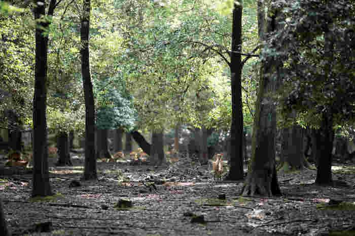 奈良公園は、JR奈良駅、近鉄奈良駅近郊にある広大な敷地を誇る都市公園で、市民の憩いの場となっています。近隣には、大仏様で有名な東大寺、阿修羅像が安置されている興福寺、春日大社など由緒ある寺社仏閣が林立しており、奈良県を代表する観光名所でもあります。