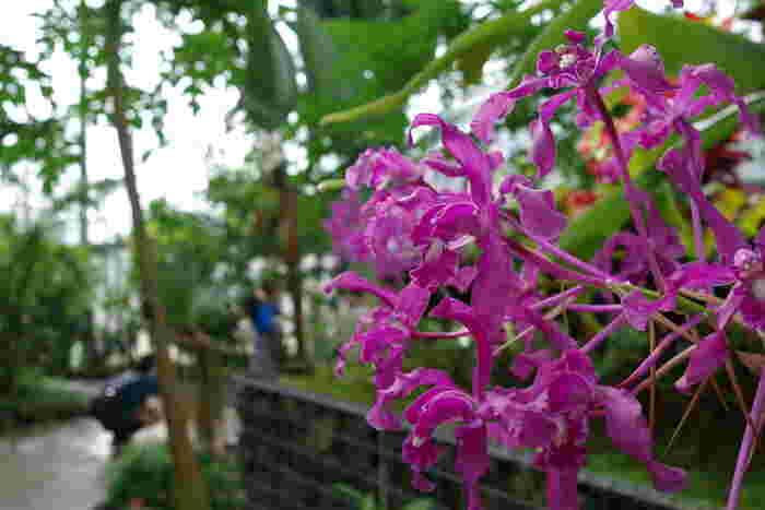 温室内には、熱帯・亜熱帯の植物を中心に、約2700種類の植物が栽培されています。南国の珍しい植物だけでなく、貴重な絶滅危惧種や、歴史的価値のあるランの展示なども人気です。