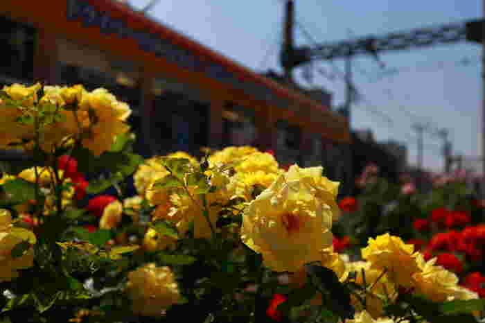 三ノ輪橋停留場にはひときわ広いバラ花壇があり、様々な品種を楽しむ事ができます。夏だけでなく、秋バラが植えられているのも嬉しいです。整備して下さっているボランティアの人々に感謝。