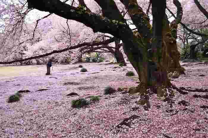 見事なピンクの絨毯ですね。こんな景色が楽しめるのも穴場スポットならでは。