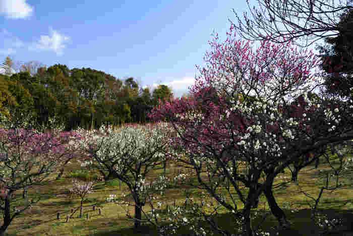 公園内には紅梅、白梅を中心として約50品種、340本の梅が植樹されており、まるで桃色のヴェールに包まれたかのような風景が広がります。