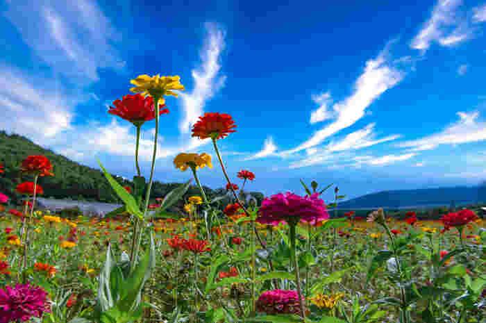 「花の都公園」は、約30万㎡もの広大な土地に数々の美しい花が咲き誇る、標高1,000mにある公園です。春はチューリップ、夏はポピーやひまわり、秋はコスモスなどが絨毯のように広がります。